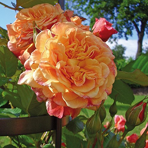 Kletter-Rose Aloha in Rot & Apricot-Rosa...