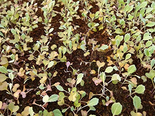 Potseed 100 Samen Nt Chou Curls Schwarz/Kale Palm Toskana/Nero Di Toscana