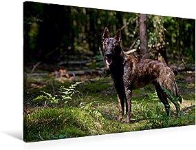 Premium Textil lienzo 90 cm x 60 cm horizontal, un motivo del pastor holandés, imagen sobre bastidor, imagen sobre lienzo auténtico, impresión sobre lienzo (CALVENDO);CALVENDO Animales