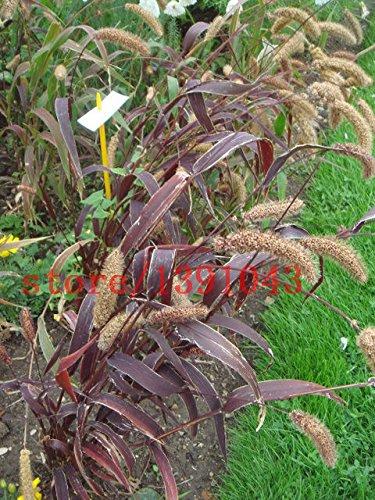100 graines RED JEWEL MILLET Setaria Italica Herbe ornementale Fleur * graines Peigne végétales pour le jardin bricolage sans ogm