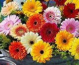 gerbera daisy flower seed 10pcs mix di piante gerbera jamesonii seme di bolo facile da coltivare per cortile interno da esterno piantare casa