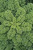 Kale'Rossignol' - 135 semillas
