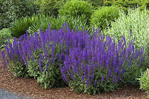 10 x Salvia sylvestris 'Mainacht' / Pracht-Salbei