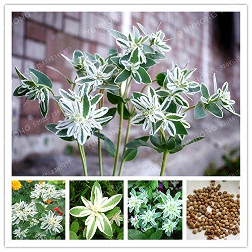 50 graines Euphorbia marginata Pursh résistant à la chaleur Ever Green LEAF SNOW-SUR-LA-MONTAGNE Feuillage Plantes jardinage bricolage