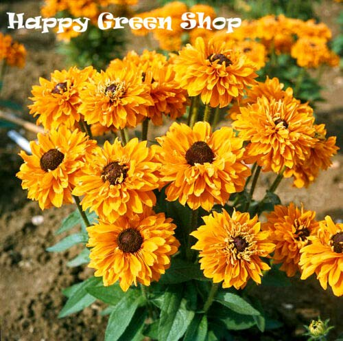 Rudbeckia - GOLD DOUBLE SEMI DWARF - 300 seeds - Rudbeckia hirta - Annual Flower