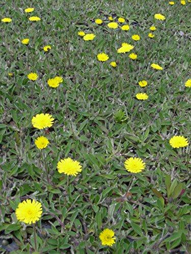 Hieracium pilosella - Mausohrhabichtskraut, 6 Pflanzen im 5/6 cm Topf