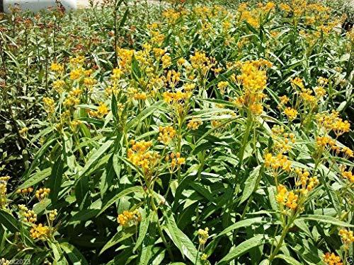 Pets Delite® 100 semillas: semilla de algodoncillo tropical amarillo (Asclepias curassavica 'Silky Gold') (100 semillas)
