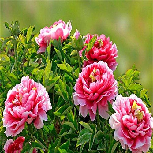 5 pièces/sac graines de pivoine, jaune, graines de fleurs de pivoine rose chinoise belles graines de bonsaï plantes en pot pour le jardin de la maison 6