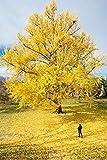 10 Semillas de Ginkgo biloba procedentes de árboles centenarios y milenarios
