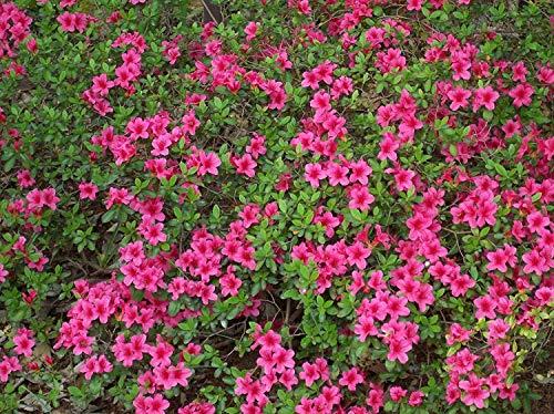 vegherb 10 Samen von Rhododendron obtusum Azalea