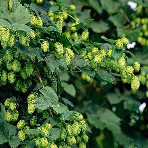 50 graines / paquet HOUBLON - Humulus lupulus - Graines - Brew votre propre bière Aujourd'hui - Retourne année après année - Plantes Formulaire Rhizomes
