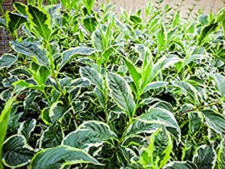 Two- #1 Gallon Potted Dwarf Variegated Weigela (Weigela Florida 'Variegata Nana') Shrubs Plants