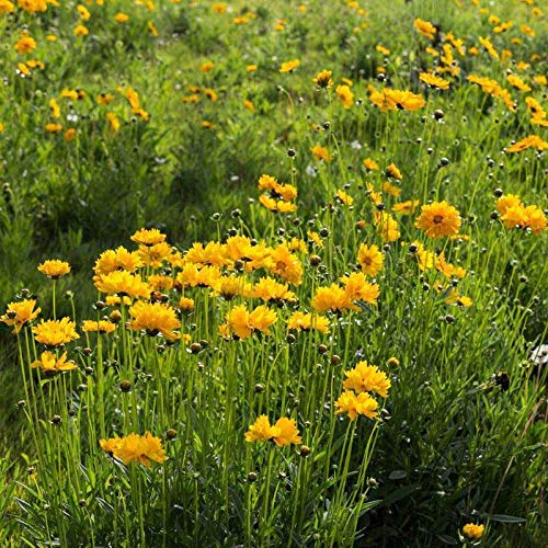 XINDUO Steingarten & Staudenbeet,Outdoor Rasen Wilde Chrysanthemen Gras Blumensamen-0,5 kg,mehrjährig winterhart Samen