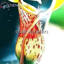 New Hot Sale 30 Pcs A Lot Nepenthes Plant Seeds Bonsai Seeds Fly Catcher Carnivorous Bonsai Home Cactus Garden Seed Perennial Grow Light Green