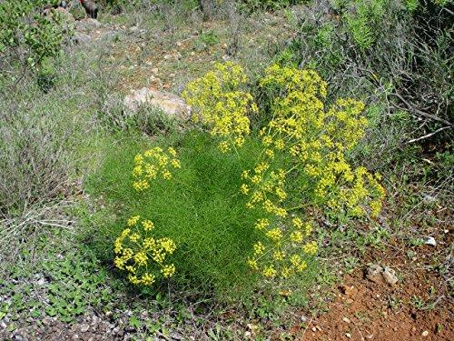 Asklepios-seeds® - 300 Semillas Foeniculum vulgare hinojo, abrojo, acinoji, acinojo, acinoju, aguardiente,...