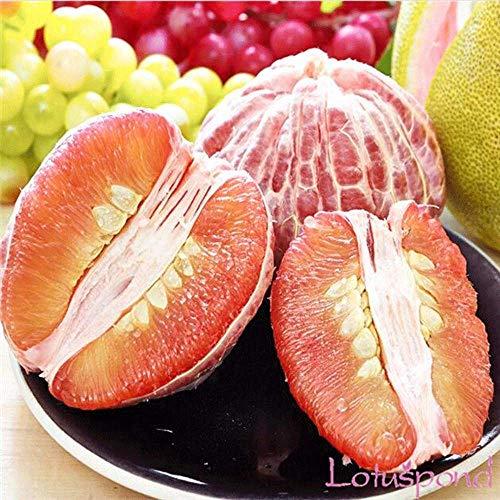 Potseed Samen Keimung: 10 Samen: Pomelo 10,25,50Fresh Tropical Exotic Pomelo Baum/Werk/Fruchtsamen aus Thailand