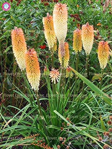 50Pcs Poker (Kniphofia uvaria) Graines Bonsai Lily Belle flamme Graines vivaces en pot familiale Jardin Belle décoration Flowe 10