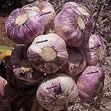 Live UK Garlic Seeds