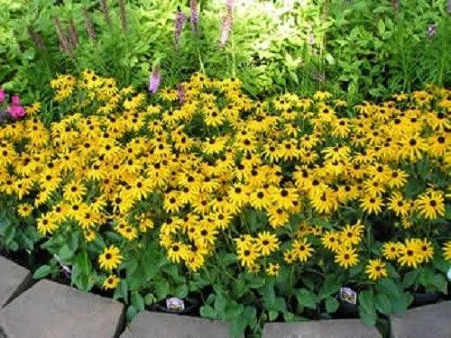30 + Rudbeckia Goldsturm-Blumensamen/Reseeding Jahres
