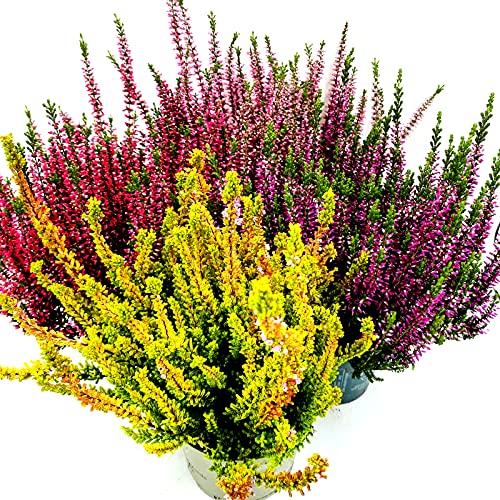 Calluna vulgaris Knospenheide Winterheide Garden Girls Mix 10stk. im 12cm Topf