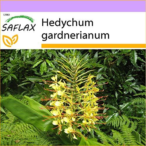 SAFLAX - Jengibre amarillo - 10 semillas - Hedychum gardnerianum