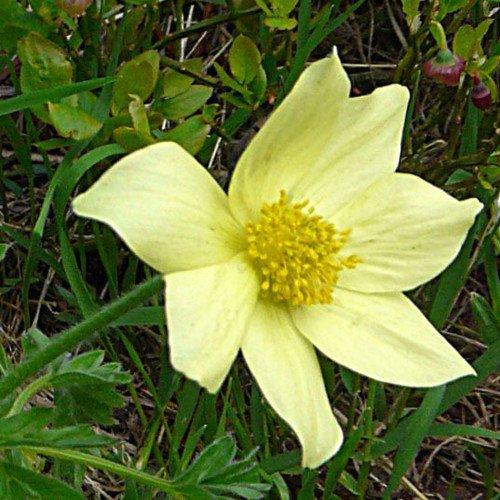 Plant World Seeds - Pulsatilla Alpina Apiifolia Seeds