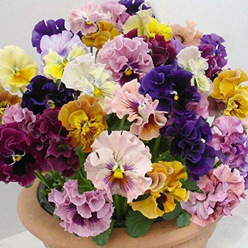 30seeds / pack belles graines pansy Mix Couleur Wavy Viola Tricolor Fleur Graines bonsaï pot bricolage maison et jardinage