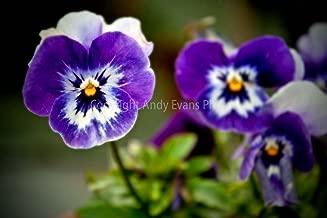 Blue Pansy Photograph an 18