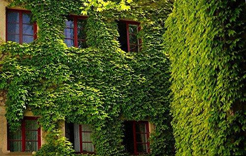 50 pcs/sac Boston Graines anti-rayonnement ultraviolet Ray tigre d'escalade Plantes pour Bricolage & Jardin extérieur Plantes Semences 1