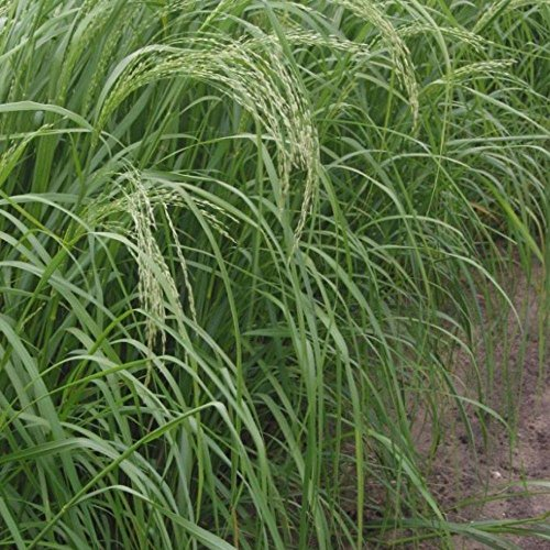 Teff Seeds (Eragrostis tef) 100+ Organic Heirloom Seeds in FROZEN SEED CAPSULES...