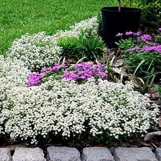 Sweet Alyssum Seeds - Carpet of Snow - 1 Pound, White Flowers