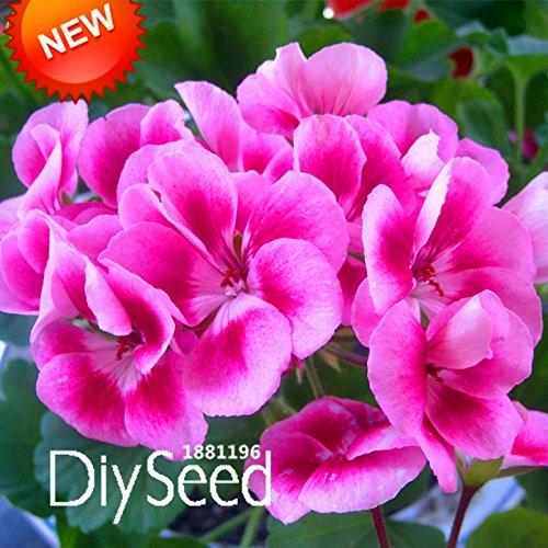 Les meilleures ventes! 20 graines / semences Sac Rare papillon rose univalve Géranium Graines vivace Fleur Pelargonium Peltatum Seeds, # 37NI66