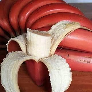 100Pcs Very Rare Red Banana Seeds, Outdoor Perennial Interesting Plants,Milk Taste, Delicious Fruit Seeds for Home Garden