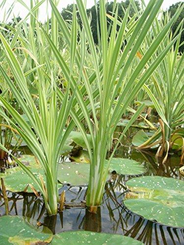 Mühlan - 10 Rohrkolben für die Bepflanzung der Sumpfzone und das Teichufer, winterhart