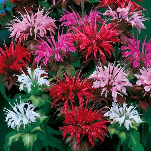 Outsidepride Monarda Didyma Bee Balm Flower Seed Mix - 500 Seeds