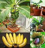 200 PC semillas de plátano, árboles frutales enanos, el sabor de la leche, semillas al aire libre perenne fruta para plantas de jardín