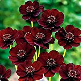 QHYDZ Garden-50//100pcs Semillas Frutales Akebia Trepadora Flor con Aroma Rara Exotica Chocolate Vine Semillas Resistente para Jarin Patio Maceta