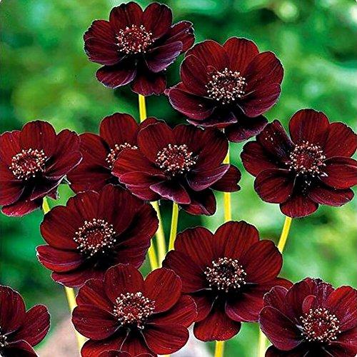 Catkoo Semi,100 Pezzi di Fiori rari di Cosmo al Cioccolato Cosmos bipinnatus Calliopsis Garden,Adatto a Balcone,Soggiorno,del Giardino,Decorazione Natalizia