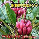 「アケビバナナ(耐寒性バナナ)の苗木 10.5cmポット苗 1個売り」珍しいピンクの花と実のバナナで、魅力は、耐寒性が強いこと!通常バナナは 暖かい地域を好み、10度以下の場合、生育が止まったり枯死してしまうことがあります。しかし!アケビバナナは耐寒性があり、マイナス5度まで耐えられる特徴があります。基本鉢植えで越冬させますが、関東以西の暖かい地域なら露地植えでも栽培でき、毎年収穫が可能です。丈夫で育てやすく、植え付け後1年くらいで結実します。自社農場から新鮮出荷!!【ポット苗なので冬場以外は植付け可能!!即出荷!!プライム送料込み価格!!】