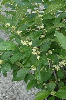 Southern Gentleman Winterberry Holly - Ilex - Hardy - 4