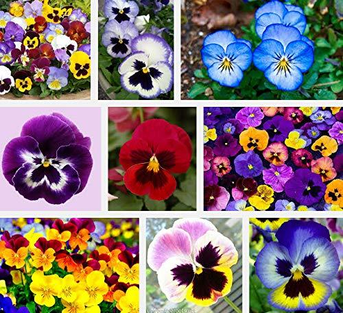 Green Seeds Co. Plante de jardin mixte Pensée Bonsaï 50 fleurs colorées jaune pensée bleue/couleur rouge vif de miniascape bonsaï 50 / sac