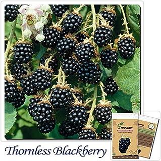 Mayan Seeds LLC Fruit seeds 100pcs Perennial New Sweet Apache Thornless Blackberry Seeds Tasty Fruit - Fresh Seeds