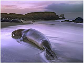 Global Gallery Art on a Budget DP-397052-1824 Tim Fitzharris Northern Elephant Seal Bull Laying at Surf's Edge Point Piedras Blancas Giclee on Paper Print