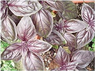 purple basil plants for sale