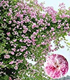 Cioler Seed House - 100 Pieces Rose Graines Grimpantes Plantes Grimpantes Jardin Clématites Climbantes Rose Rose Vivaces Fleur Vrac Graines Fleur Résistant à la Mer Vivace Longue floraison