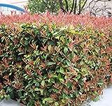 Futaba Photinia Serrulata Rosaceae arbustes à feuillage persistant ou de petits...