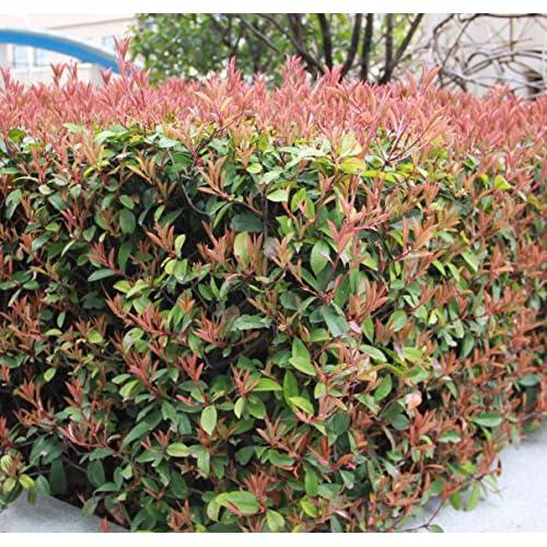 Futaba® Photinia Serrulata Rosaceae arbusti sempreverdi o piccoli alberi 100 semi