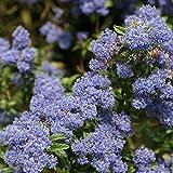 Ceanothus 'Concha' - Californian Lilac 'Concha' 30-40 cm Potted