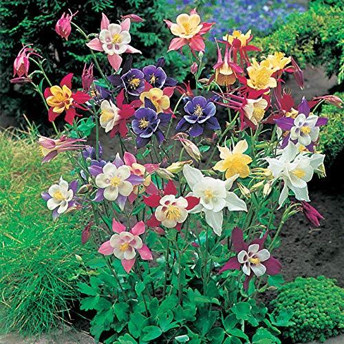 promworld Fleur Jardin Plantes vivaces résistante,semences Florales,Espèces de Fleurs de Jardin de Balcon à Double pétale de graines de colombine-2kg_Blanc