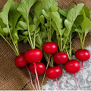 Best rover hybrid radish Reviews
